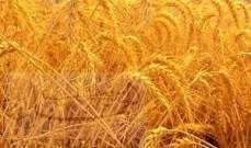 مصر تطرح مناقصة لشراء كمية غير محددة من القمح في تشرين الأول