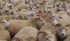 إتفاقات سودانية سعودية بشأن تصدير الماشية