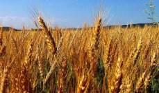 أسعار القمح ترتفع الى إلى 5.2150 دولار للبوشل