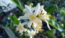 """""""مصلحة الأبحاث العلمية الزراعية"""" تذكّر بعدم رش المبيدات الحشرية مع تفتح أزهار الحمضيات"""