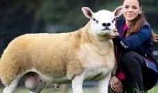 بيع أغلى خروف في العالم... تعرف الى سعره الصادم!