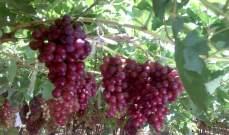 سوريا: تقديرات بإنتاج أكثر من 88 ألف طن من العنب بحمص 