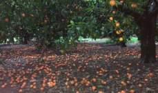 مزارعو عكّار يناشدون الدولة تعويضهم بعد تضرر ثمار الحمضيات