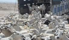 السعودية: رفع الحظر مؤقتاً عن استيراد المواشي من الصومال