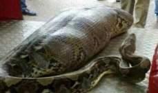 ثعبان عملاق يبتلع امرأة في إندونيسيا