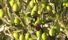 الأردن: السماح بتصدير 7 آلاف طن من منتج الزيتون