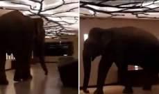 فيل بريزبون معتاد في فندق في سريلانكا!
