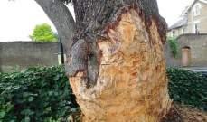 غرامة بقيمة 60 ألفجنيه إسترليني والسبب... شجرة!