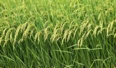 الفيضانات تجرف أكثر من مليوني طن من الأرز في نيجيريا
