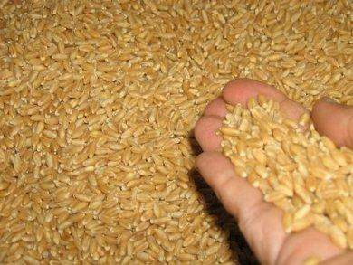 هيئة السلع المصرية تشتري 350 ألف طن من القمح