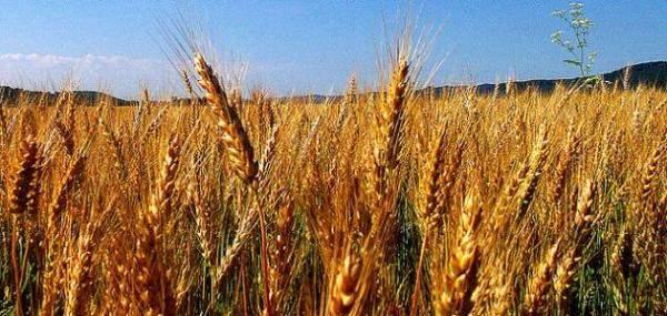سوريا تسعى لشراء 300 ألف طن من القمح في مناقصة