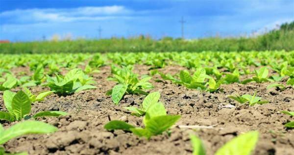 مرض فطري يضرب شتول الدخان في الجنوب والمزارعون ينتظرون وضع آلية لمساعدتهم