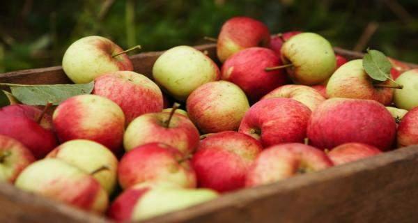 """""""البريكست"""" يهدد 16 مليون تفاحة بالتعفن"""