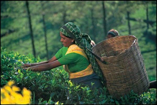 أسعار الشاي مرشحة للارتفاع بسبب الوضع الوبائي في الهند