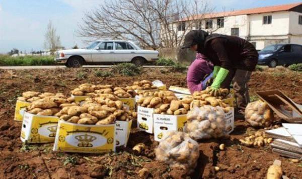 أزمة سعر صرف العملة تصيب البطاطا.. المزارعون يحذرون من توقف الإنتاج